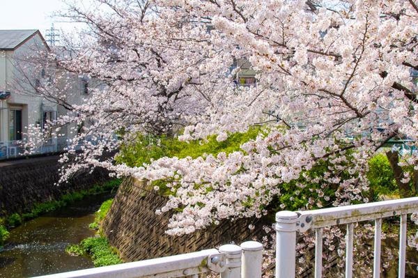 交野 桜-2103291-3