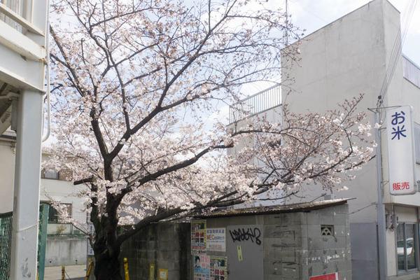 桜-1904025