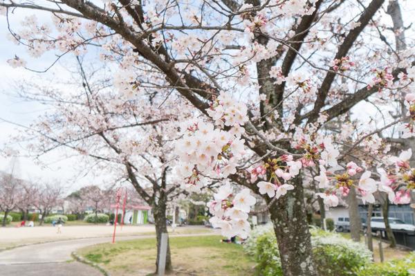 牧野公園の桜2016-1