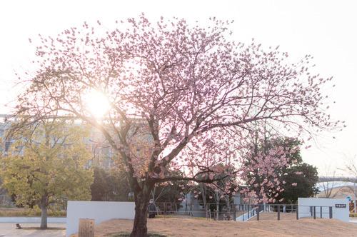 桜2015-26