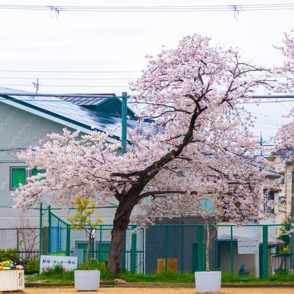 桜329-21032816