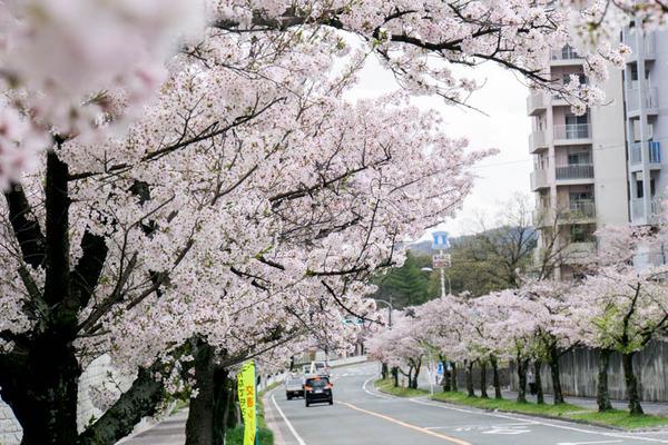 桜2-1704125