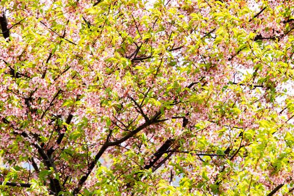 桜-1903262
