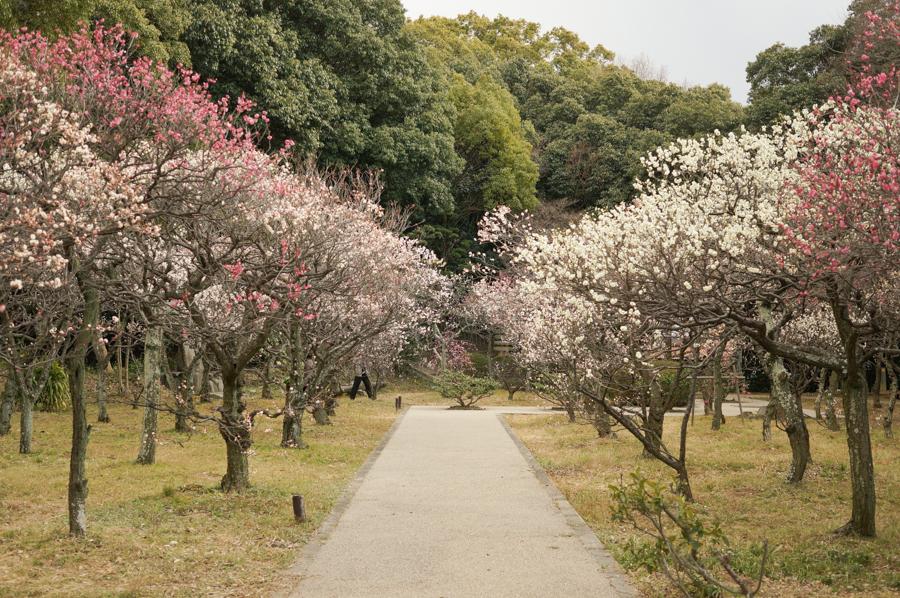 意賀美神社の梅-9