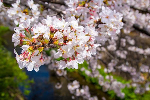 交野 桜-2103291-4