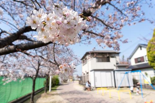 南中振公園桜-15033121