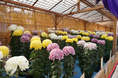 菊花展131105-04