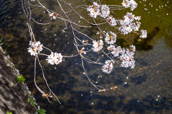 交野 桜-2103291-5