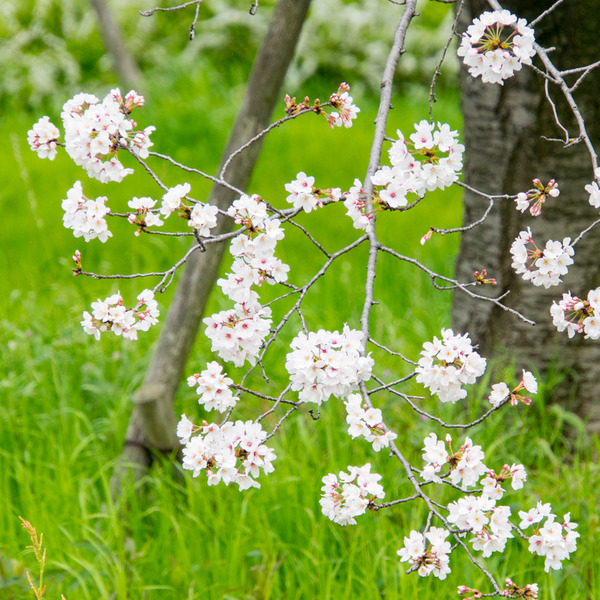桜-2003312