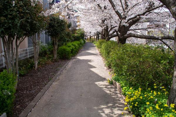 交野 桜-2103293