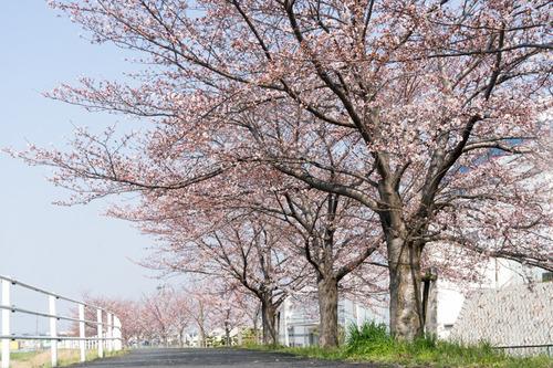 桜フェス-15033003