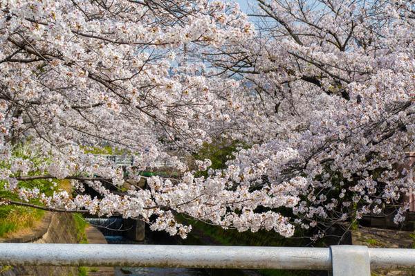 交野 桜-2103291-9