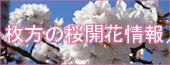 桜開花情報2012バナー