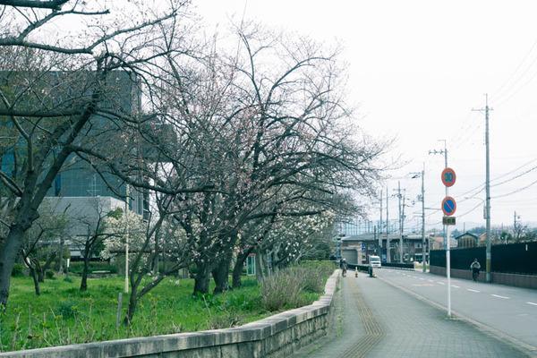 さくら-1903281