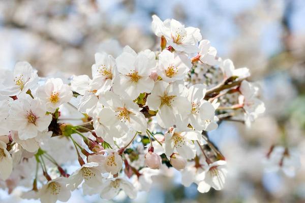 桜公園-1904061