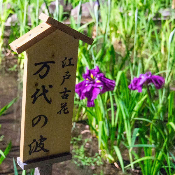 花しょうぶ-19060314