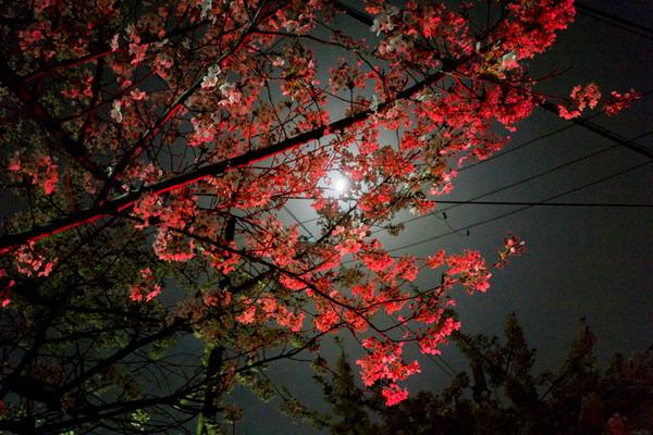 桜-1803311