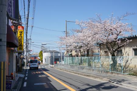 津田の桜-7