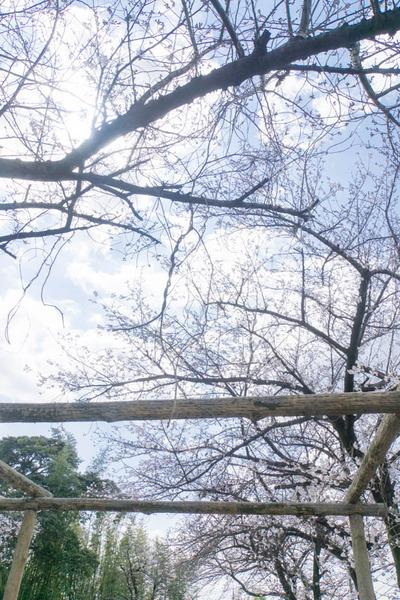 桜-1904027