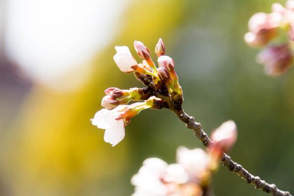 桜-1704043