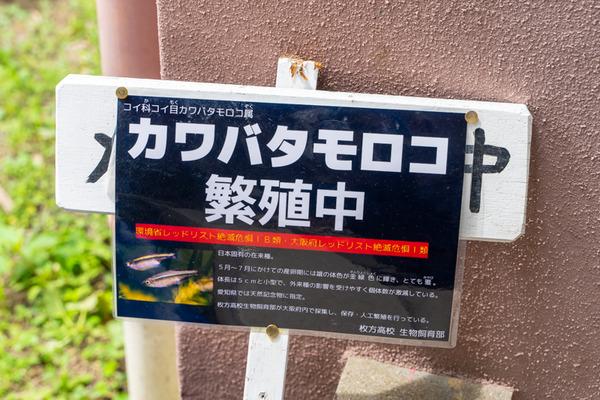 カワバタモロコ-2006201