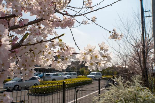 桜祭-1803265