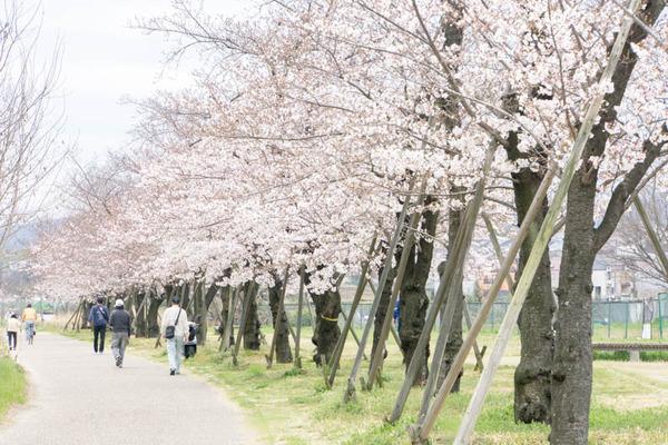 桜-1704063