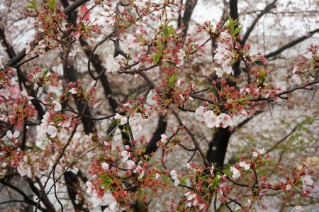 穂谷川の桜130406-04