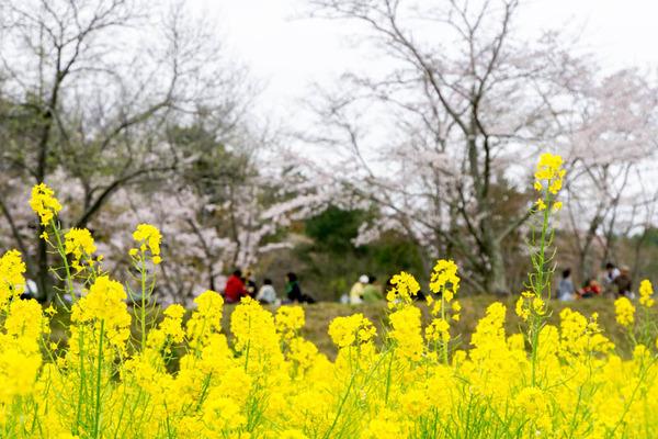 桜-1704091
