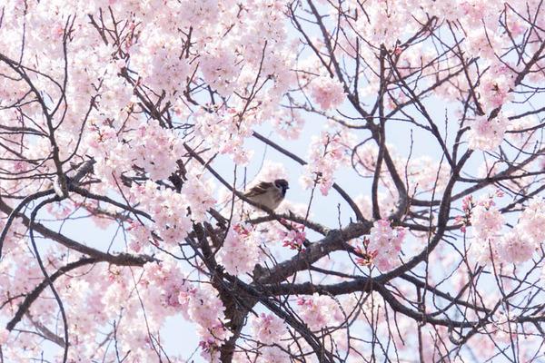桜-1704035