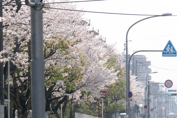 桜3-1803286