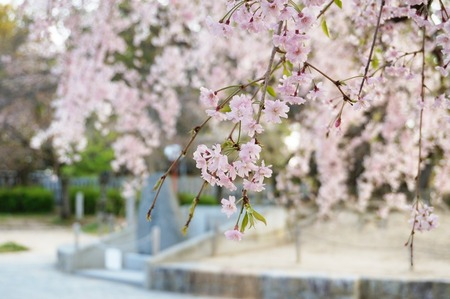 牧野公園の桜130410-08