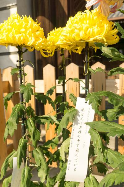 枚方宿街道菊花祭-10