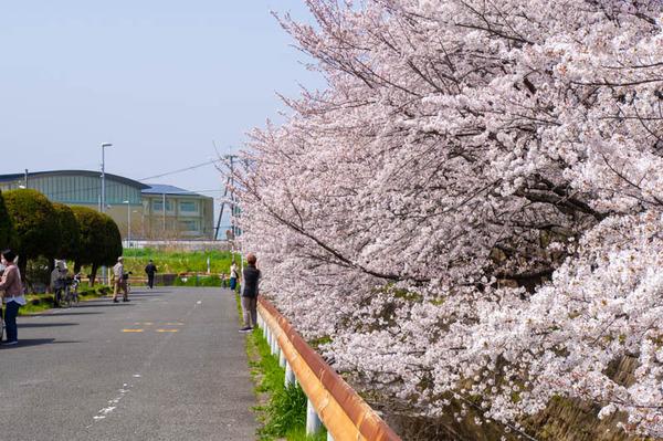 交野 桜-2103291-12