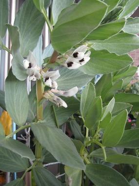jpgそら豆の花