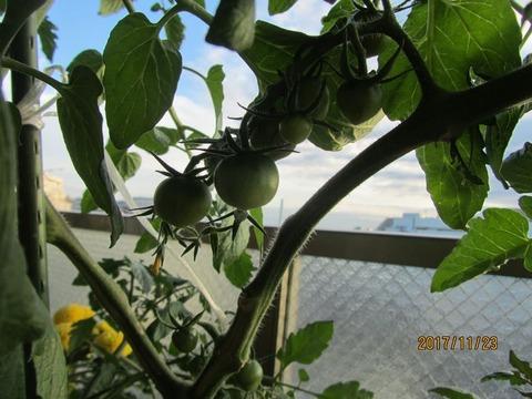 jpgトマトの実