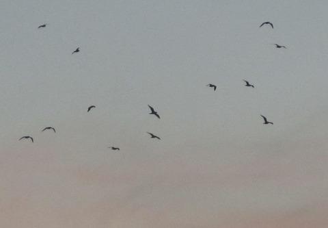 jpg夕焼に鳥②