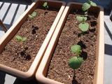 だだちゃ豆の栽培4〜20日目