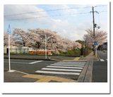 同志社小学校の桜