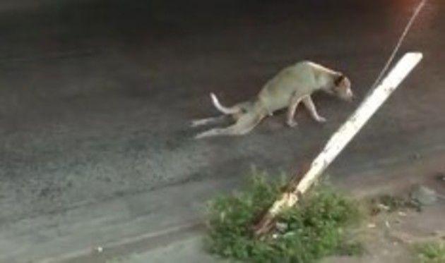 イヌの変な歩き方