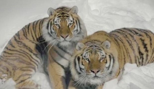 雪中のトラをドローンで撮影