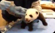 仔パンダの鳴き声