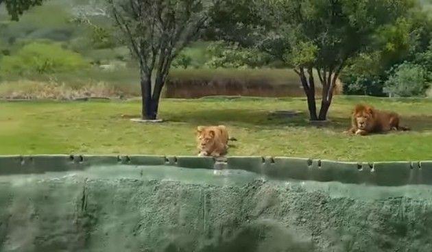 ライオンの高飛び込み