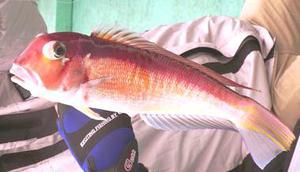 熱海でアマダイ・カサゴ・釣り船で釣った!画像 (1)