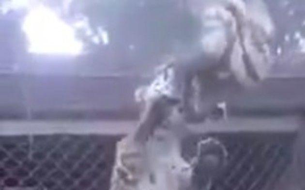 ジャガーがナマケモノを襲う動物園