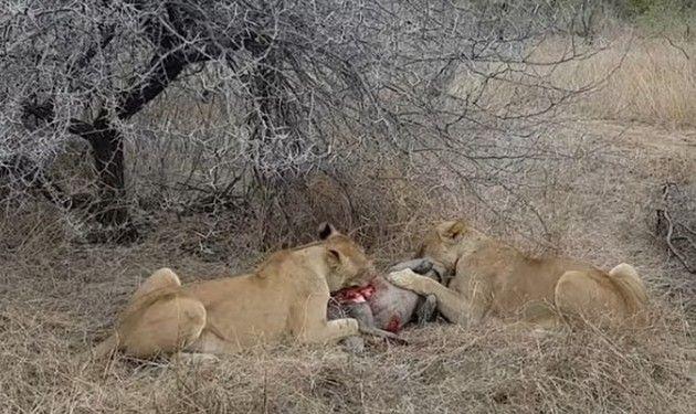 ライオンとハイエナの対決