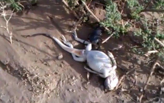 フンコロガシに転がされるトカゲの死体。