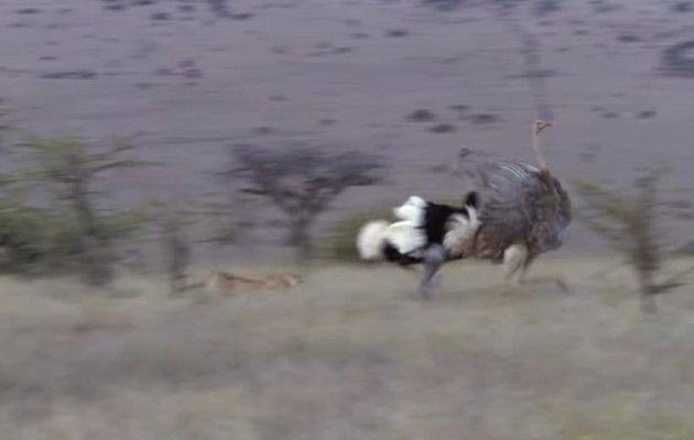 チーターがダチョウを狩る