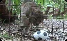大型ネコ目ネコ科動物もサッカーボールで遊ぶ