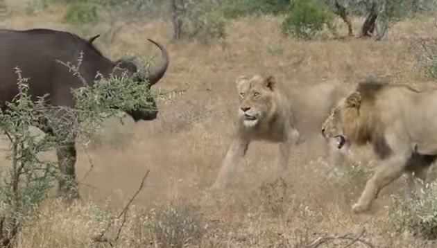 ライオンと水牛の戦い